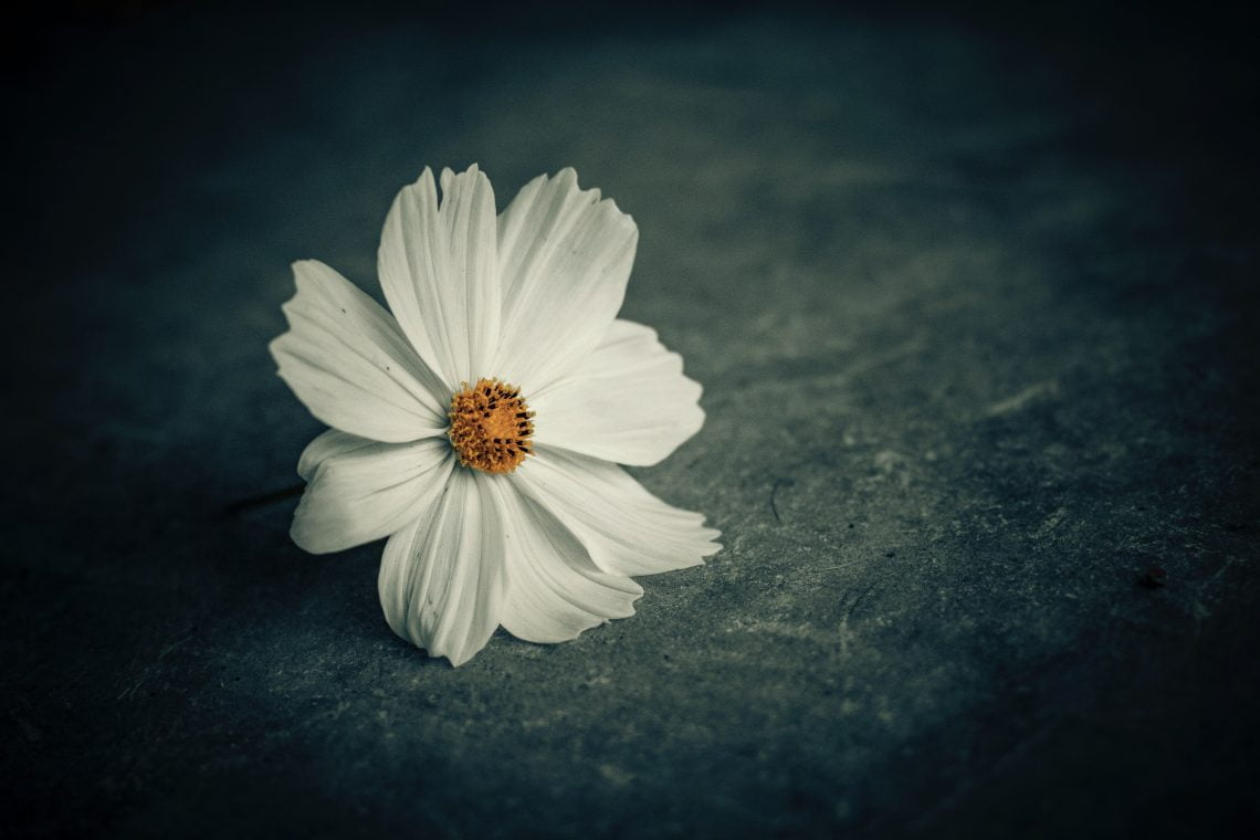 what matters most white daisy flower with black background